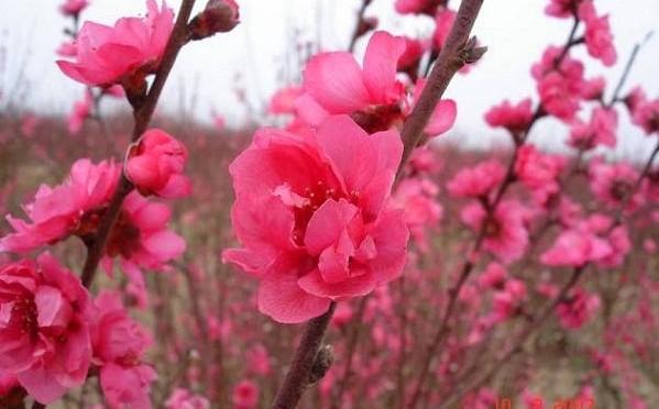 Hình ảnh hoa đào ngày Tết đón Tết 2016