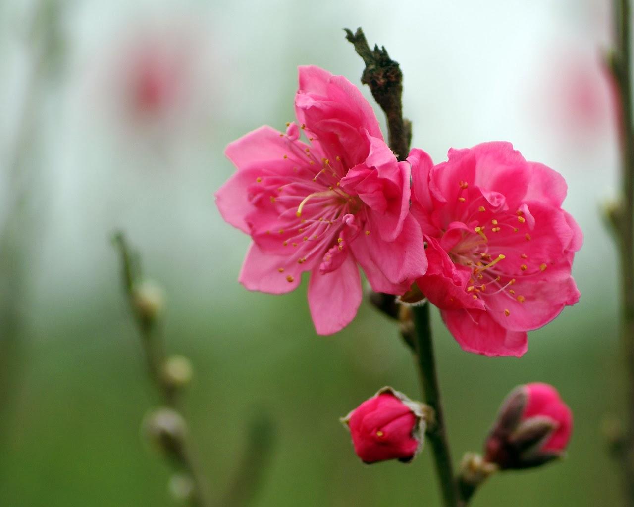 Hoa đào ngày Tết đón Tết 2015
