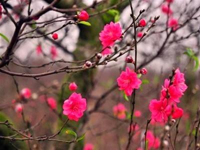 Hình ảnh, hình nền hoa đào đẹp ngày tết
