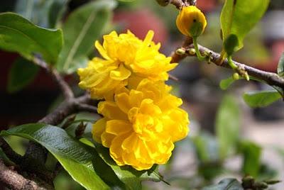 Hoa mai vàng đẹp ngày tết
