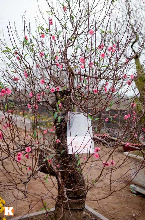 cây,trái độc chưng ngày tết