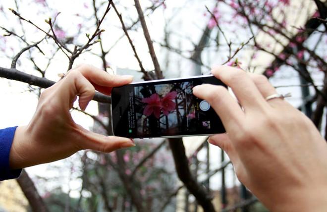 Hoa anh đào Nhật Bản 'xịn' giữa Hà Nội