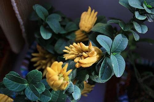 """Phật thủ bonsai dáng """"bàn tay chắp"""" cực lạ"""