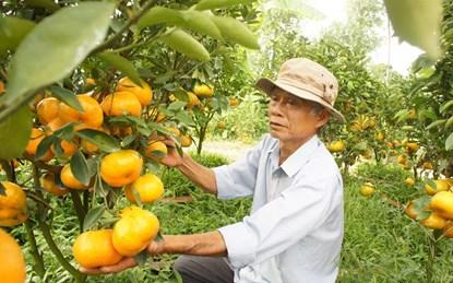Quýt hồng đặc sản miệt vườn Lai Vung