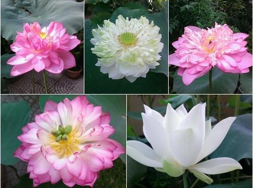 Những loại hoa sen
