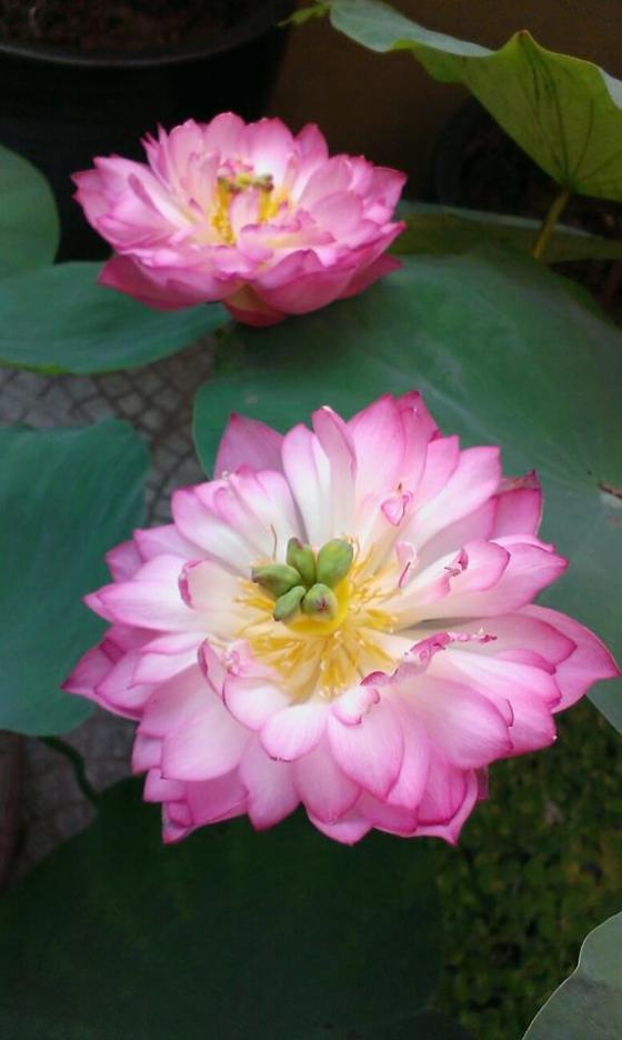 bí quyết trồng sen khủng tại nhà